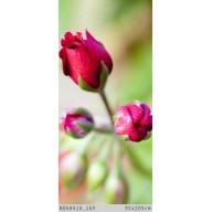 Pąki róż